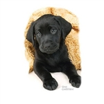 Black Lab Puppy Nightshirt